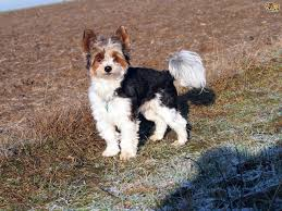 Stop Rat Terrier Shedding by Biewer Terrier Dog Breed Information Buying Advice Photos And
