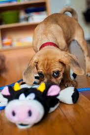 Why Do Puggles Shed So Much 266 best meet my furry friends images on pinterest animals