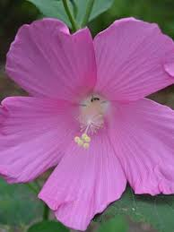 perennial hibiscus for sale garden goods direct