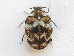 Carpet Weevil Pictures by Varied Carpet Beetle Anthrenus Verbasci Bugguide Net