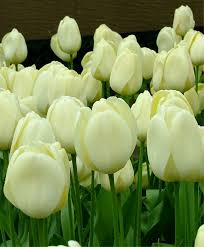tulip ivory floradale the best white darwin hybrid