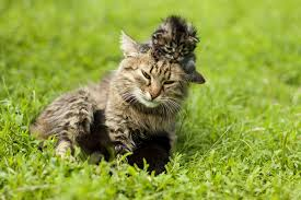 Section in Cats Conditions Treated Procedure Efficacy