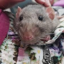 100 aspen bedding for rats kaytee aspen small animal