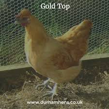 Gold Top #hen #SBS #QueenOf #poultry #backyardpoultry ... 14 Best Chicken Breeds Images On Pinterest Grandpas Feeders Automatic Feeder Standard 20lb Feed Backyard Chickens Norfolk Va 28 Run Selling Eggs From Uk My Marans Red Pyle Brahmas And Other Colours Backyard Chickens Page 53 Of 58 Backyard Ideas 2018 Derbyshire Redcaps Uk Cleaning Stock Photos Images Quietest Breeds Uk With Quiet Coop How To Keep Your Hens Laying All Winter Long Top 5 Tips A Newbie The
