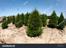 Leyland Cypress Christmas Tree Growers by Growing A Christmas Tree Christmas Lights Decoration