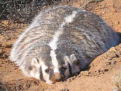 wisconsin state animal badger
