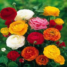 ranunculus asiaticus mix 20 flower bulbs buy order now