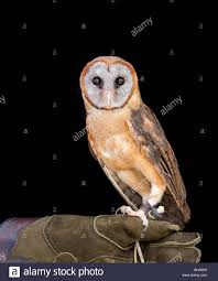 Ashy Faced Barn Owl With A Black Background And Sitting On A Glove ... Black Barn Owl Oc Eclipse By Pkhound On Deviantart Closeup Of A Stock Photo 513118776 Istock Birds Of The World Owls This Galapagos Barn Owl Lives With Its Mate A Shelf In The Started Black Paper Today Ref Paul Isolated On Night Stock Photo 296043887 Shutterstock Stu232 Flickr Bird 6961704 Moonlit Buttercups Moth Necklace Background Image 57132270 Sd Falconry Mod Eye Moody