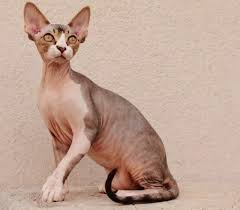 cats for the 25 best sphynx kittens for ideas on sphynx
