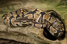 Ball Python Shedding Signs by Feeding Your Pet Ball Pythons