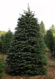 Nordmann Fir Christmas Trees Wholesale by Our Products The Tree Wisemans