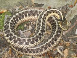 Brown Garden Snake - Another Shot Of A Common Yard Snake. Usually ... Backyard Snakes Effective Wildlife Solutions Snakes And Beyond 65 Best Know Them Images On Pinterest Georgia Of Louisiana Department Fisheries Southern Hognose Snake Florida Texas Archives What Is That 46 The States Slithery Species Nolacom Scarlet Kingsnake Cottonmouth Eastern Living Alongside Idenfication Challenge The Garden Or Garter My Species List New Engdatlantic