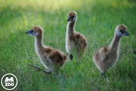 West African Black Crowned Crane Chicks