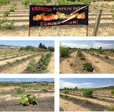 Pumpkin Patch Petaluma California by Pronzini Christmas Tree Farms Marin And Sonoma County Locations