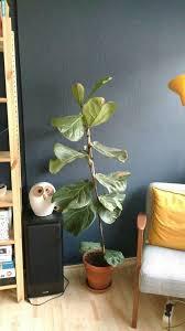 großer feigenbaum sucht retter mit hellem badezimmer