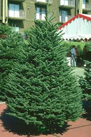 Noble Fir Christmas Tree Click On Image For Larger View