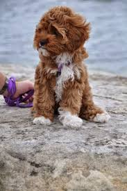 Do Cavapoos Shed A Lot by 17 Best Images About Wild Crazy And Lovable On Pinterest