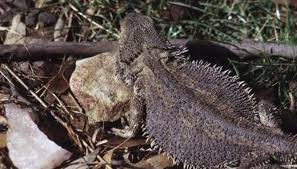 Bearded Dragon Heat Lamp Went Out by Why Do Bearded Dragons Flatten Their Stomachs Animals Mom Me