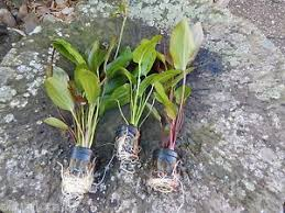 promo lot de 3 pieds echinodorus xl plante aquarium discus poisson