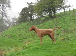 Do Vizsla Dogs Shed by Hungarian Wirehaired Vizsla Page 4