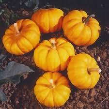 Cinderella Pumpkin Seeds Australia by Peaceful Valley Organic Pumpkin Seeds Jack Be Little