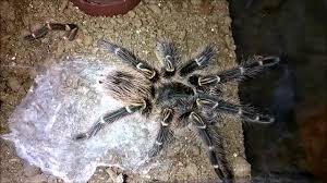 Do Tarantulas Shed Their Fangs by The Best Beginner Tarantula Species Youtube