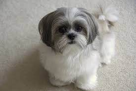Small Dogs That Dont Shed Hair by Top 10 Dogs That Stay Small U2022 Bunkblog