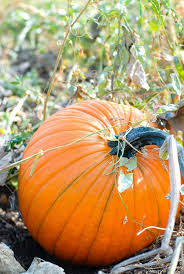 Pumpkin Patches In Colorado Springs 2014 by Perfect Pumpkins And Pumpkin Bars Boulder Locavore