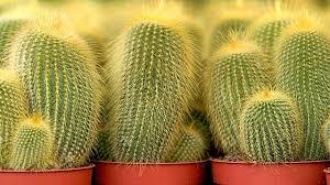 tipps zur kaktus pflege diese fehler sollte vermeiden