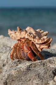 hermit crab without shell google search baby crab things