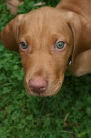 Do Hungarian Wirehaired Vizslas Shed by 3897 Best Vizsla Images On Pinterest Hungarian Vizsla Animals
