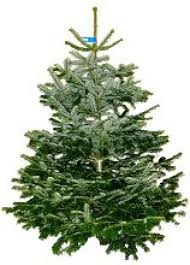 7ft Christmas Tree by The Nunhead Gardener Londoner U0027s Favourite Garden Centre Real