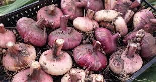how to tips on digging planting and growing gladiolus bulbs