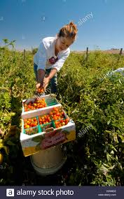 Uesugi Farms Pumpkin Patch by Migrant Workers Harvest Cherry Tomatoes At Uesugi Farms August 28