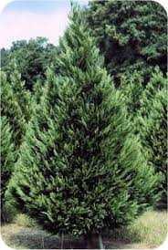 Ge Franklin Fraser Fir Christmas Tree by 35 Best Mountain People Like Me Images On Pinterest Christmas