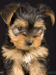 Large Sized Dogs That Dont Shed by Do Yorkies Shed All About Our Dogs Yorkshire Terrier Photos