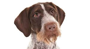 Do Newfoundlands Shed Hair by German Wirehaired Pointer History U0026 Training Temperament