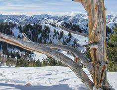 A Tree Above 10000 Feet In The Backcountry Of Wasatch Mountains Utah Near Salt