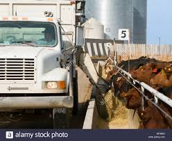 100 Feed Truck Livestock A Feed Truck Dispenses Silage Into A Feed Trough At A