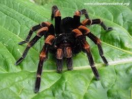 Do Tarantulas Shed Their Fangs by Amazing Tarantula Spider Giant Tarantula Facts Photos
