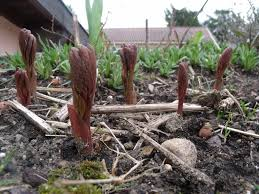 pivoine herbacee en pot pivoines herbacées page 2 balcon terrasse petit jardin en pot