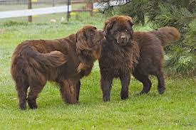 Do Newfoundlands Shed Hair by Dog Lovers Blog Page 29 Of 39 Pet Paw
