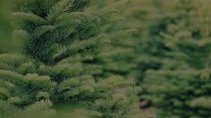 Nordmann Fir Christmas Tree Nj by Christmas Real Christmas Treestco For Sale Nj At Walmart