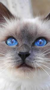 kitty cat kitty cat color blue animal nature