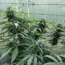 fin de floraison cannabis exterieur fin de floraison cannabis exterieur 9 nyc diesel autofloraison
