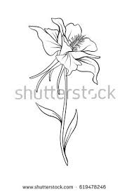 Aquilegia Columbine Flower Illustration In Botanical Style Stock Vector
