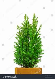 Potted Christmas Tree by Real Christmas Tree In A Pot Christmas Lights Decoration