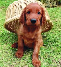 29 best apartment dogs for small spaces irish setter dog and animal