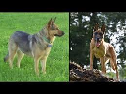 german shepherd vs belgian malinois comparison youtube