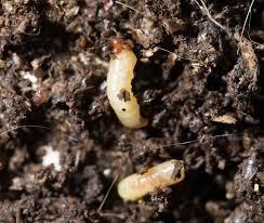 maden würmer larven bekämpfen